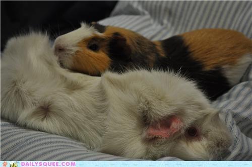 buddies buddy cuddling friend friends friendship guinea pig guinea pigs nap nap time Pillow pillows reader squees sleeping snuggling - 4842490880