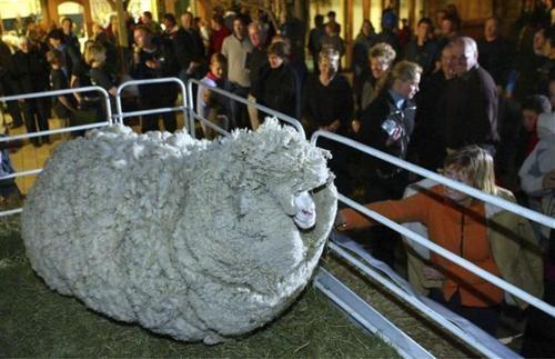 new zealand rip shrek Shrek the Sheep - 4842822400