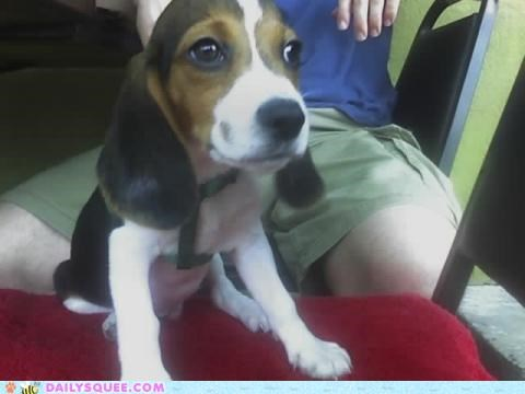 adorable baby beagle disproportionate proportion puppy reader squees - 4845992448