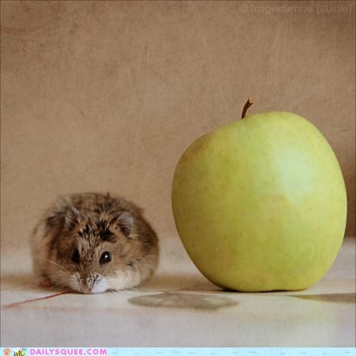 adage,an apple a day,apple,baby,daily,day,hamster,meal,noms,three-course meal
