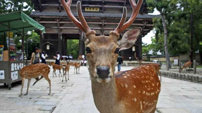 frustrating foreign tourists park deers Japan bite - 4849413