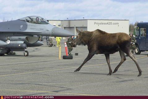 animals bad idea moose planes runway wtf - 4849536256