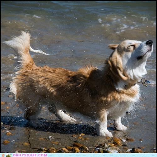 corgi criteria day dogs guess happy perfect sign - 4851230208