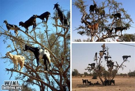 animals awesome climbing goats trees - 4852076288