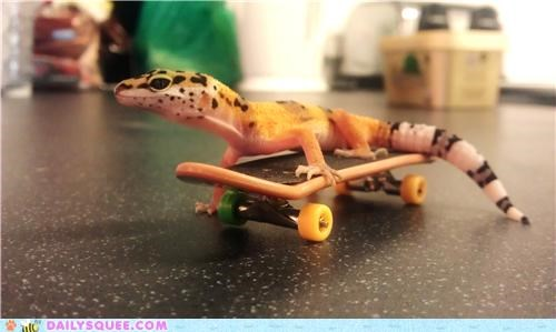 baby gecko leopard gecko playing reader squees skateboard skater - 4852594688