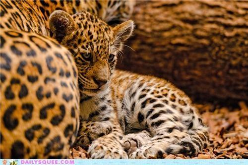baby cub jaguar jaguars song - 4854820352