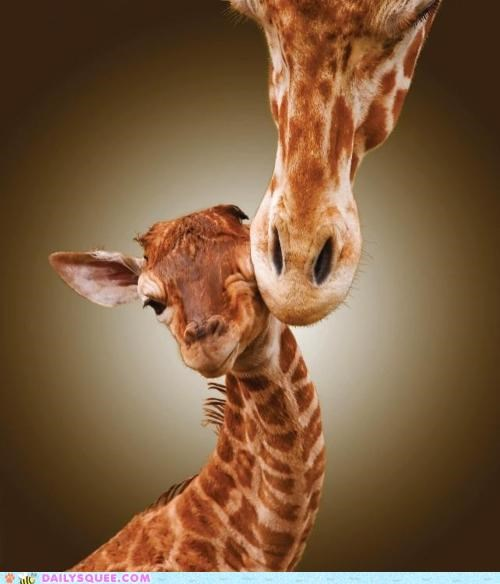 baby embarrassed giraffes Hall of Fame hypothetical KISS kissing mother sweet - 4854855168