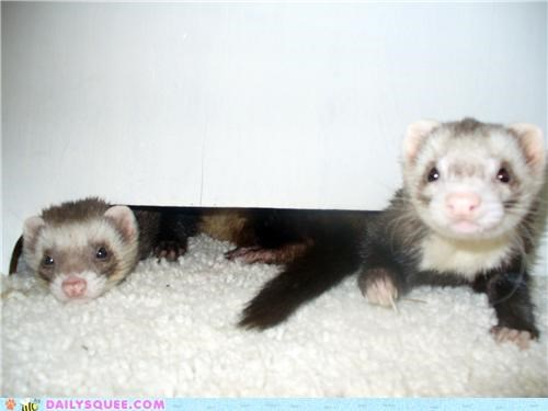 brothers,elwood,ferret,ferrets,Jake,reader squees,the blues brothers