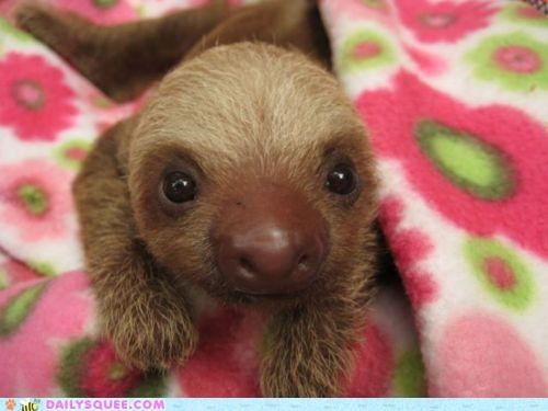 all-around awesome baby boopable contest Hall of Fame nose sloth sloths squee spree well rounded winner - 4864022016