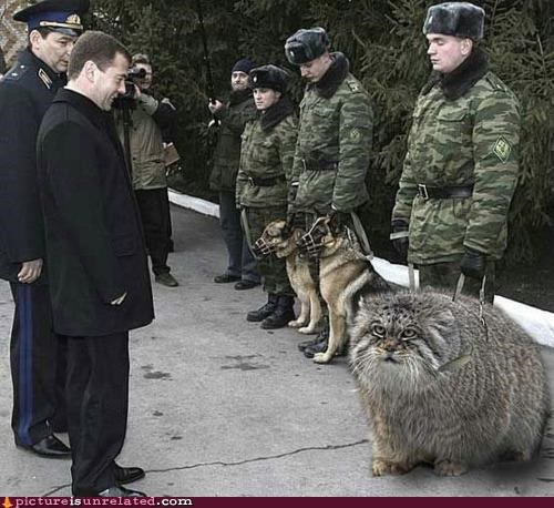 cat,medvedev,russia,wtf