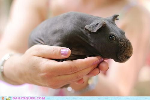 adorable baby best ever doe-eyed guinea pig Hall of Fame handheld hippo present resemblance squee overload tiny - 4865543680