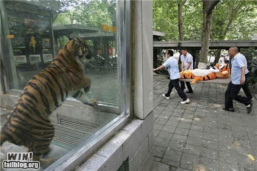 animals tigers tigger - 4867256576