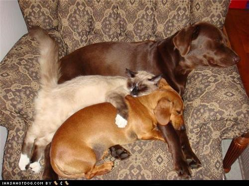 bed best of the week cat chair chocolate lab dachshund Hall of Fame kittehs r owr friends nap share siamese sleep - 4867332352