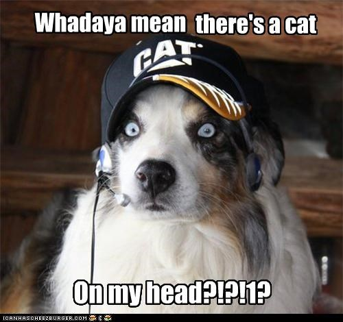 australian shepherd,brand,cat,do not want,freaked out,hat,head,mixed breed,realization,scared,surprised