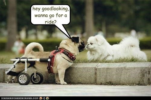 cart,go,good looking,Hey,lhasa apso,paraplegic,pickup line,pug,ride,want