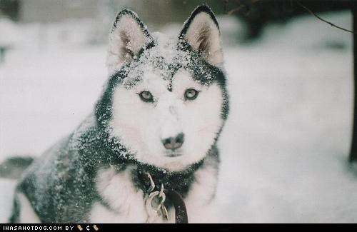 face,goggie ob teh week,husky,nose,snow