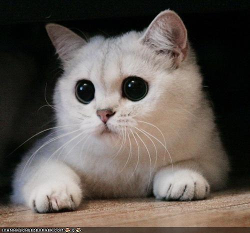 big eyes black eyes creepicute cyoot kitteh of teh day eyes white - 4868754432