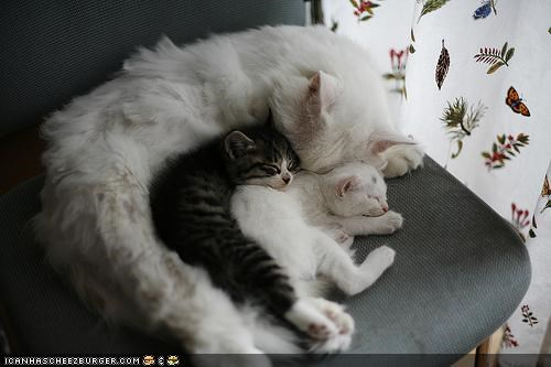 chair cyoot kitteh of teh day family mom protecting sleeping spooning three cats - 4868763392