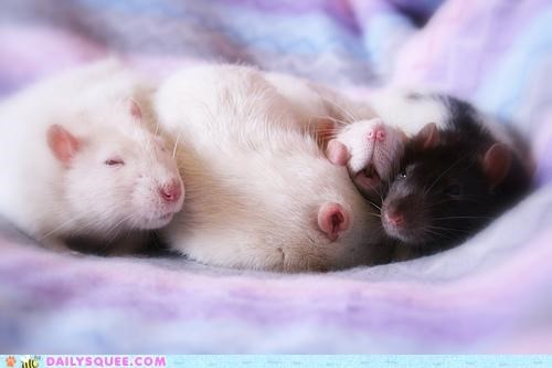 alliteration awesome Babies baby cuddling do want fake motel rat rats rotunda sleeping snuggling - 4869110272