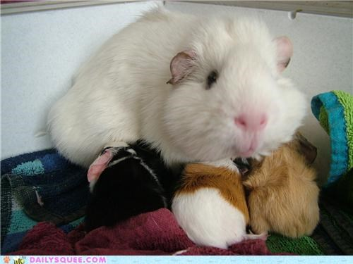 Babies,baby,guinea pig,guinea pigs,happy,mother,nursing,reader squees