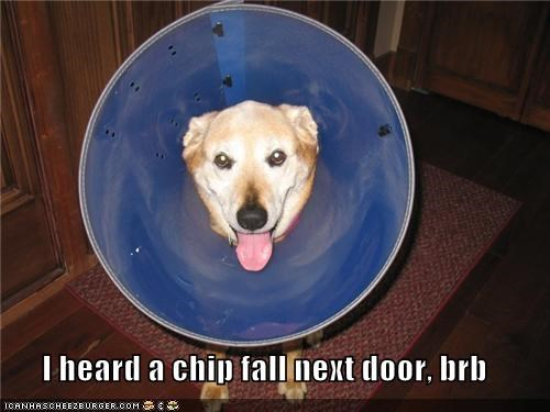 brb,chip,cone of shame,door,fall,heard,hearing,labrador,next