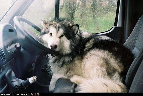 car,driver,goggie ob teh week,husky,steering wheel