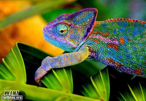 animals awesome chameleon colorful nature - 4872388352