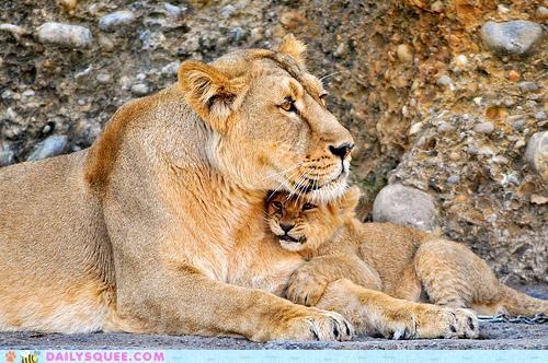 arm cub cuddling holding lion lioness lions love part whole - 4872676096