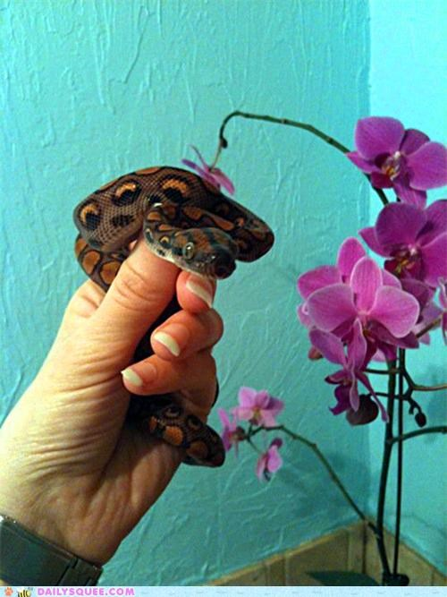 baby boa brazilian rainbow boa cute inquisitive reader squees snake