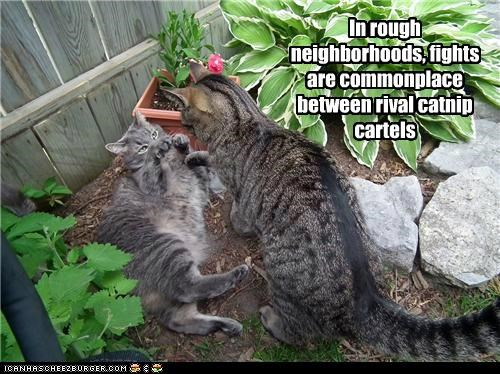 In rough neighborhoods, fights are commonplace between rival catnip cartels