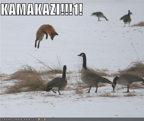 caption,captioned,fox,geese,goose,jumping,kamikaze,shouting