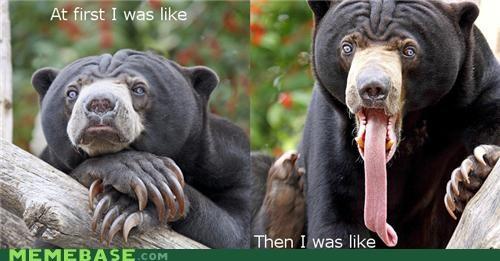 at first i was like bear Memes tongue - 4874948608
