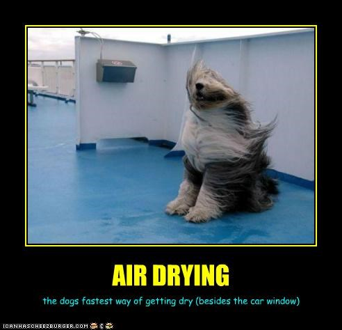 AIR DRYING the dogs fastest way of getting dry (besides the car window)