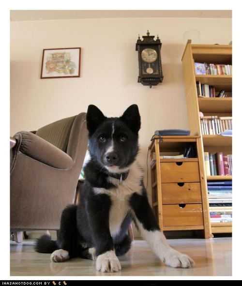 chow chow,collie,corgie,goggie ob teh week,karelian bear dog,poll