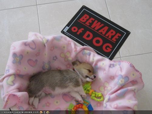 bed beware of dog corgi cyoot puppeh ob teh day fierce puppy - 4875554048