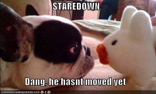 dang,french bulldogs,hasnt,moved,stare down,stuffed animal,toy,yet