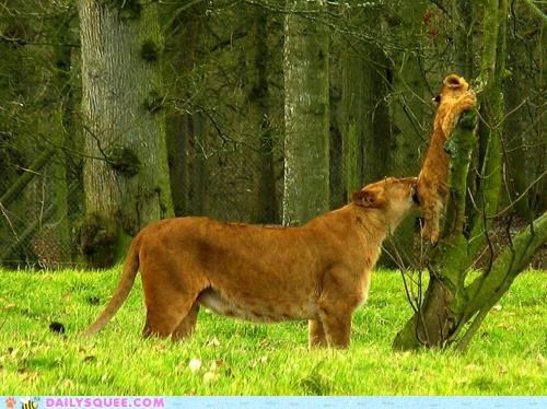 acting like animals baby climbing Command cub get down lion lioness lions parent supervising - 4876391936