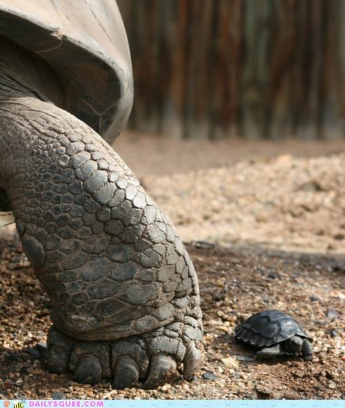 baby family galapagos turtle Hall of Fame parent Photo proportion pun size tiny turtle turtles - 4876454656