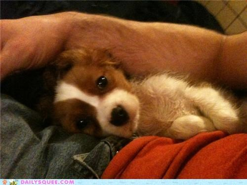 cavalier king charles naughty puppy puppy eyes reader squees teddy bear terror - 4877812224