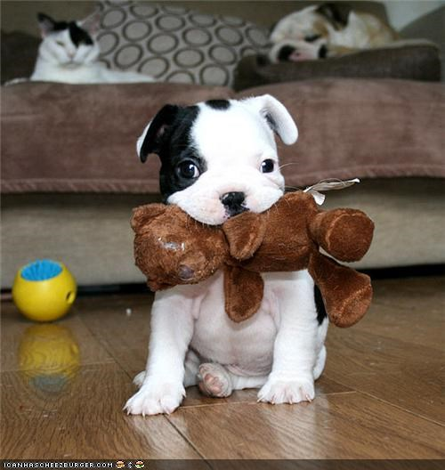 best of the week black and white bulldog cat couch cyoot puppeh ob teh day friends Hall of Fame pitbull puppy teddy bear toys - 4879199744