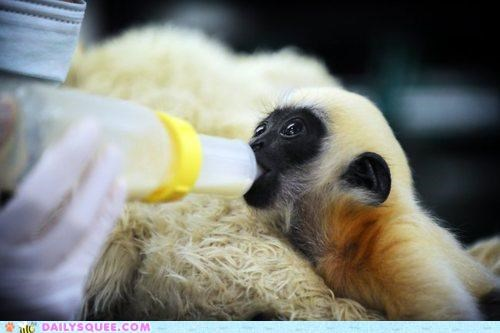 baby,drinking,gibbon,hungry,litotes,milk,noms,understatement,white cheeked gibbon