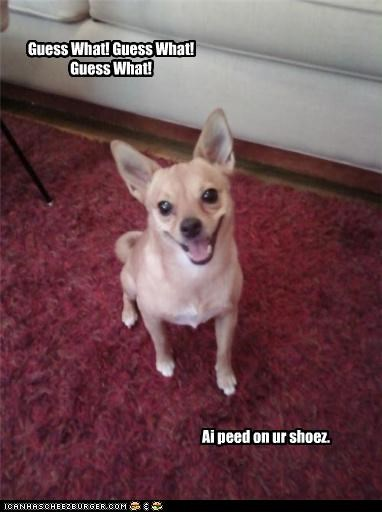 accident,chihuahua,excited,guess what,oops,peed,shoes,surprise
