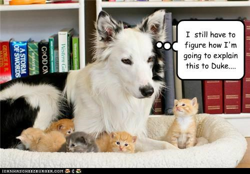 Babies border collie cat Cats explanation kitten problem worried - 4884582144