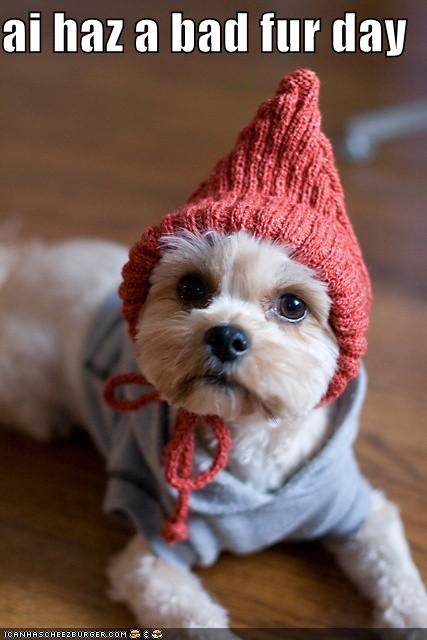 bad bad hair day bichon frise costume day dressed up fur hat mixed breed sweater yorkshire terrier - 4885351424