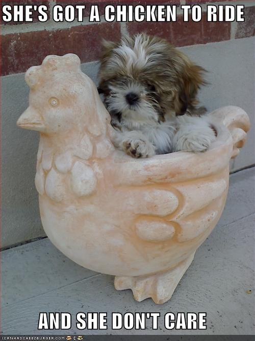best of the week care chicken dont Hall of Fame lyrics parody puppy ride statue the Beatles ticket to ride yorkshire terrier - 4885750784