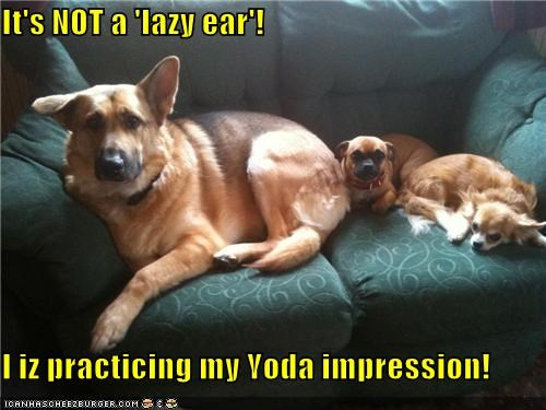 chihuahua,ear,german shepherd,impression,lazy,mixed breed,not,practicing,pug,yoda