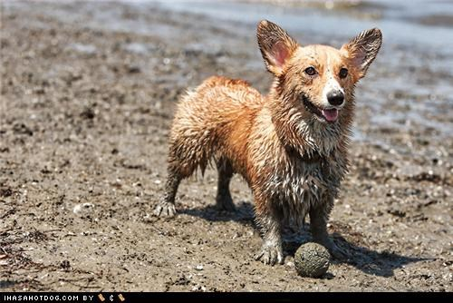 ball beach corgi dirty goggie ob teh week happy muddy play