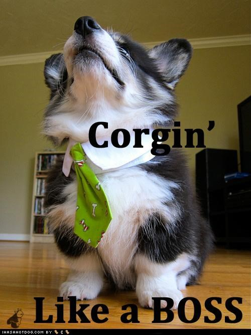 best of the week boss corgi dress up goggie ob teh week Hall of Fame pudge tie - 4889613568