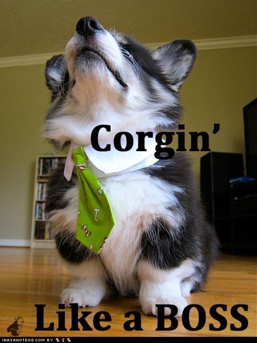 best of the week boss corgi dress up goggie ob teh week Hall of Fame pudge tie - 4889613568