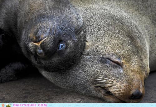 baby,best of both worlds,combination,cuddling,parent,Pillow,seal,seals